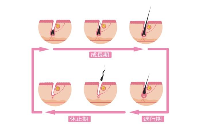 毛の毛周期の流れについて